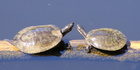 A pair of Murray River turtles. The species are often kept as pets. Photo / Wikimedia Commons