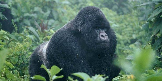 A Silverback gorilla in Uganda. Photo / Supplied