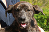 Shy is a four-month-old dark brindle mastiff cross.