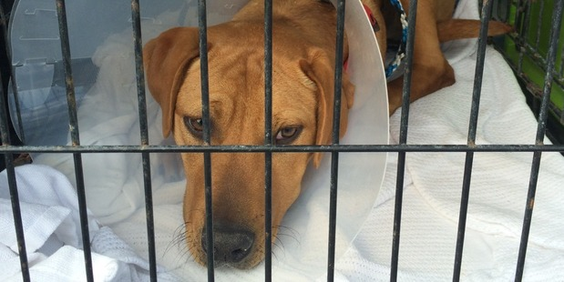 Snoopy, the victim of a crude neutering, was surrendered to the SPCA and has since been rehomed. Photo / Supplied