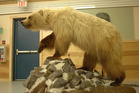 This bear, which was three-fourths grizzly and one-fourth polar bear, can be seen at the Ulukhaktok Community Hall. Photo / A.E. Deroche-University of Alberta via Washington Post