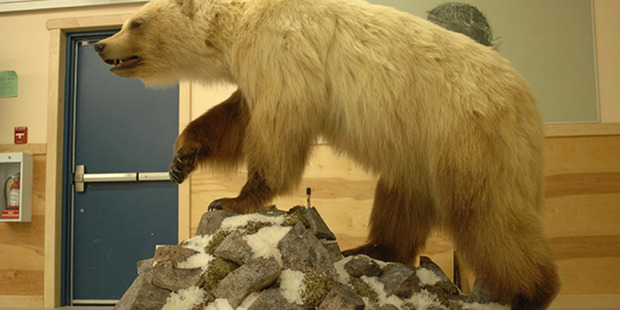 This bear, which was three-fourths grizzly and one-fourth polar bear, can be seen at the Ulukhaktok Community Hall in Canada. Photo / A.E. Deroche-University of Alberta