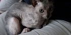 Watch: Rare 'werewolf cat' found in Cape Town