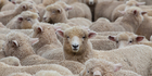 The sheep went dazed and confused into the village causing chaos. Photo / iStock