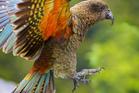 Kea is on the threatened list. Photo / iStock