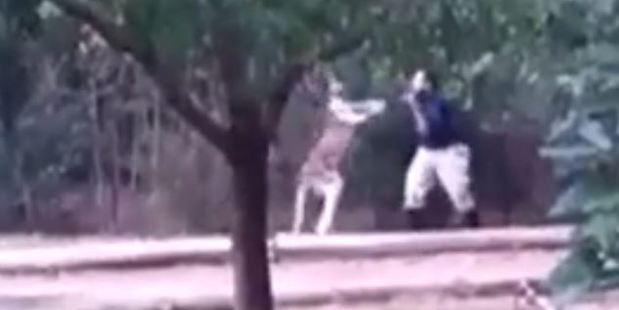 The video shows a zookeeper being attacked by a kangaroo. Photo / YouTube