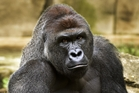 Shooting Harambe would have been a heartbreaking decision for zoo staff who knew the animal better than anyone. Photo / AP
