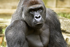 Harambe, a western lowland gorilla, who was fatally shot to protect a 4-year-old boy. Photo / AP