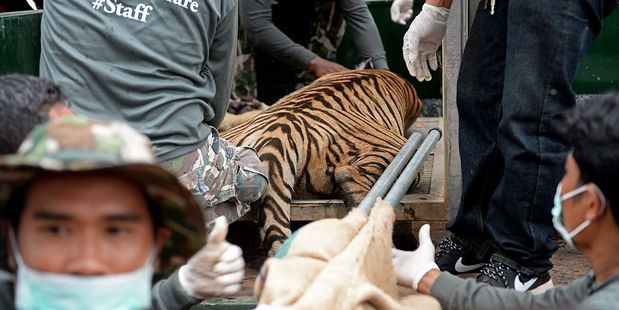 Thai wildlife officials load a tiger into a cage on a truck after they removed it from an enclosure at the Wat Pha Luang Ta Bua Tiger Temple. Photo / Getty