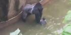 Watch: Zoo shoots and kills gorilla to save boy in enclosure