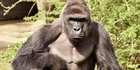 Watch: Watch NZ Herald Focus: Anger over the shooting of Harambe the Gorilla in a Cincinnati zoo.