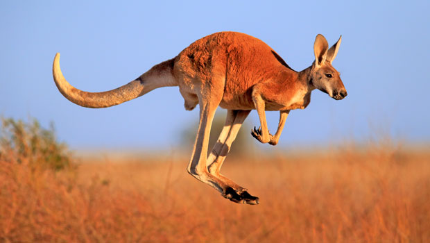 The kangaroo attacked Heinrich and her friend while they were riding through Clare Valley in South Australia. Photo / Getty
