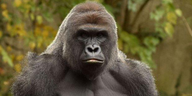 Loading Cincinnati Zoo had celebrated Harambe's 17th birthday the day before the shocking incident. Photo / Cincinnati Zoo