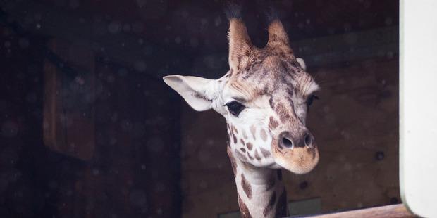 Yuri the giraffe leaving Auckland Zoo to travel to Wellington this morning. Photo / Jason Oxenham