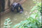 Animal lovers are furious that Harambe was shot dead after the boy climbed into his enclosure. Photo / WLWT