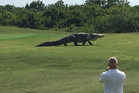 Charles Helms was able to get a video of a dinosaur-like alligator casually strolling across the green. Photo Facebook