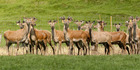 NZ@Noon: Busted for illegally selling venison