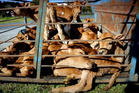 Calves left in crate without shelter, food or water before pick up for slaughter. From a video by Farmwatch and SAFE to highlight animal cruelty in the New Zealand dairy industry. Photo / Supplied