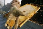 Honey producers are utilising manuka and kanuka, which like gorse, are fast burning. PHOTO/FILE