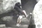 Days after a young boy fell into the gorilla exhibit at the Cincinnati zoo - prompting the zoo's decision to shoot and kill a 17-year-old gorilla -- archived video has emerged showing a similar incident 20 years ago, with a very different outcome. Source: WGN-TV