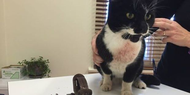 A pet owner in Taradale has been left distraught after their black-and-white cat Jazz came home on Monday with a leg-hold trap attached to her lower jaw. Photo / Supplied