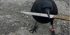 Canuck the crow, pictured in January with a knife. The crow picked up a different knife at a tense crime scene last week. Photo / Shawn Bergman.