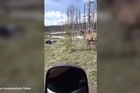 Yellowstone has a problem with tourists getting too close to wild animals - here's an example of what could happen.