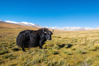 The woman had carried the yak meat all the way from Mongolia. Photo / iStock