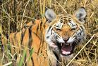 A tiger snarls at Pench Tiger Reserve in Madhya Pradesh, India. Photo / Sanjay Shukla.