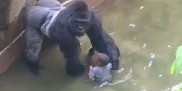 Loading Animal lovers are furious that Harambe was shot dead after the boy climbed into his enclosure.