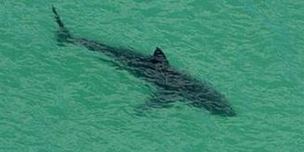 Australian authorities believe the great white shark is more than 3m long. Photo / Supplied