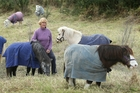 Tiny Trotters owner Lesley Lowe and her miniature horses are searching for a new home. Photo / John Borren