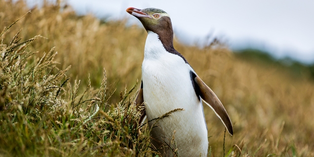 Penguin Rescue manager Rosalie Goldsworthy said the birds at Katiki Point, near Moeraki were under increasing pressure from tourists. Photo / Getty