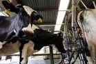 A heifer tested positive for Tb on an Otago farm.  File photo / John Stone