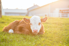 Tougher rules around the treatment of bobby calves will start before the spring calving season. Photo / iStock