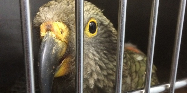 The juvenile kea is now doing well after treatment for moderate levels of lead. Photo / Orla Fitzpatrick