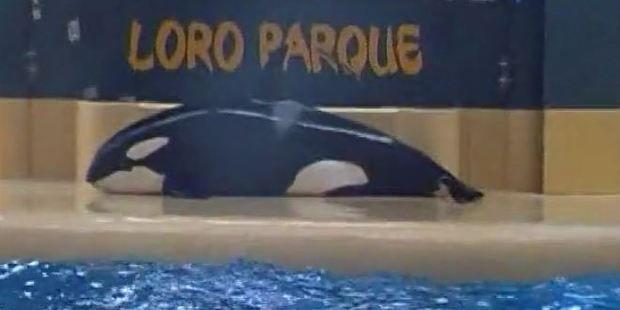 Loading Alarming footage shows the orca deliberately beaching herself during a show. Photo / Dolphin Project