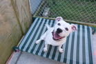 April is an energetic one-year-old American bulldog cross.