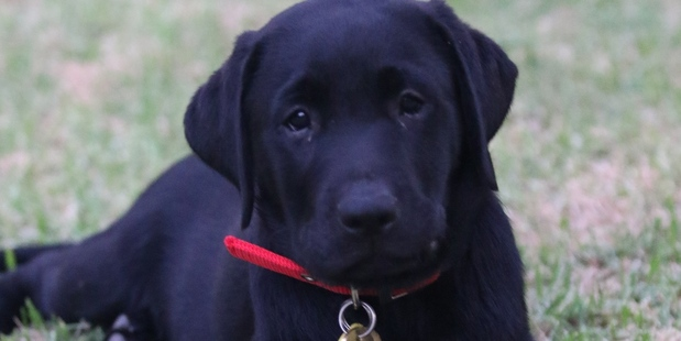 Maddie is a guide dog in training. Photo / Supplied