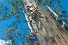 Tourists climbing the Bicentennial Tree, located near Pemberton, Western Australia. Photo / Tourism Western Australia