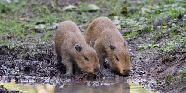 Two baby capybaras venture outside for the first time at Auckland Zoo. Photo / Grace Watson