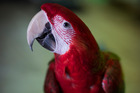 The macaw has more neurons in its forebrain than the macaque. Photo / Dean Purcell