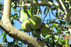 The fruit being stolen was not ready to be harvested and would not be edible. Photo / NZME