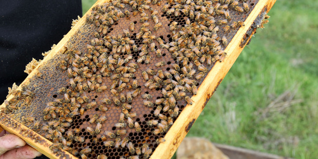 Put beehives on roofs and allow the homeless to collect the honey is an unusual plan floated by a group of business students. Photo / File