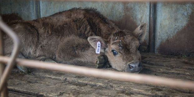 Late last year a graphic video exposed the mistreatment of calves, a number of welfare charges have since been laid.