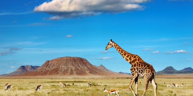 The plight of giraffes in Africa has been highlighted in a new documentary series. Getty Images