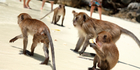 The wild macaque monkeys were moved from nearby mountains to the village of Xianfeng. Photo / iStock