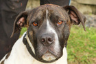 Jay is an 18-month-old mastiff cross looking for a home.