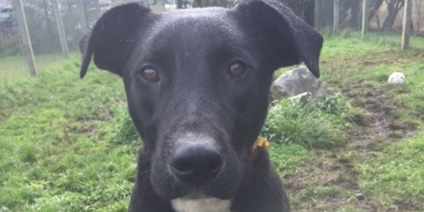 Toby is a 10-month-old labrador-greyhound cross looking for a home.