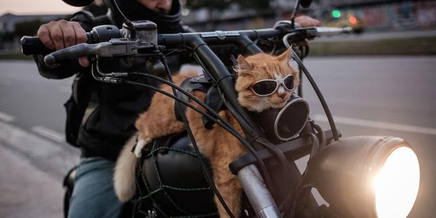 Loading Cat Chiquinho in Rio de Janeiro, Brazil. Photo / AFP